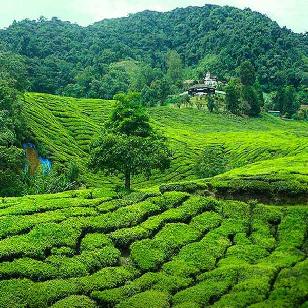Kuala Lumpur And Cameroon Highlands Tour Package 5 Nights